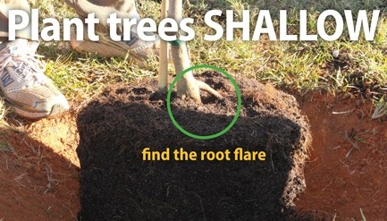 tree being planted in shallow ground