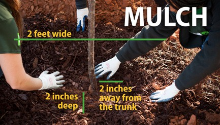 adding mulch to a newly planted tree