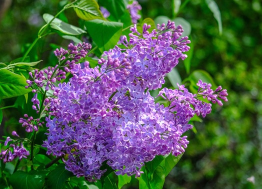 purple lilac in bloom