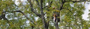 arborist pruning a large tree