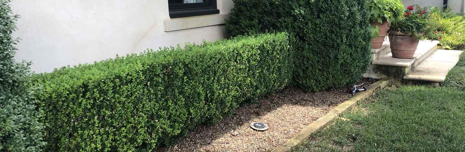boxwood shrubs