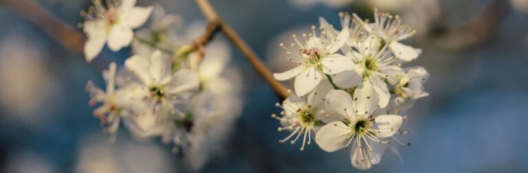 close up of a Bradford Pear tree branch