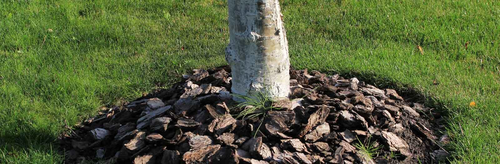 tree showing mulch surrounding the base