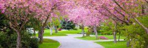 companion tree planting showing row of cherry trees