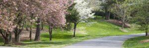 neighborhood street lined with Bradford pear trees