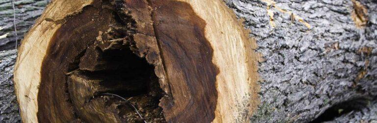 tree showing dutch elm disease