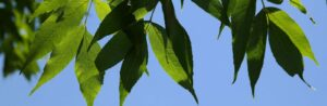leaves from emerald ash tree