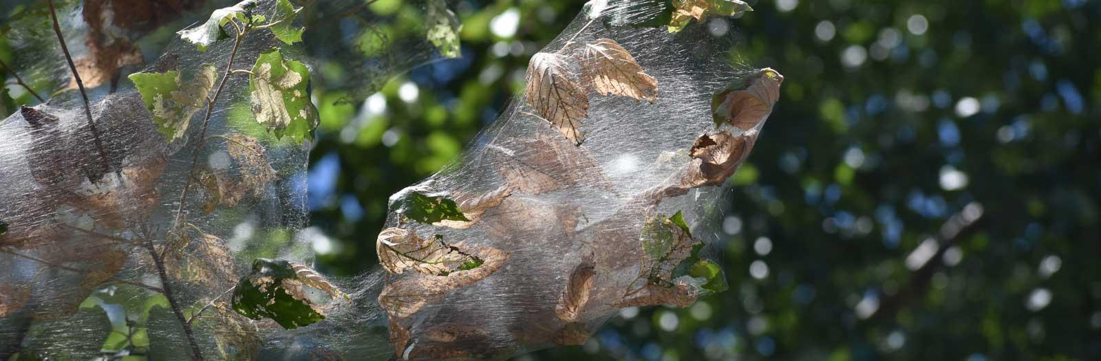 fall webworm nest