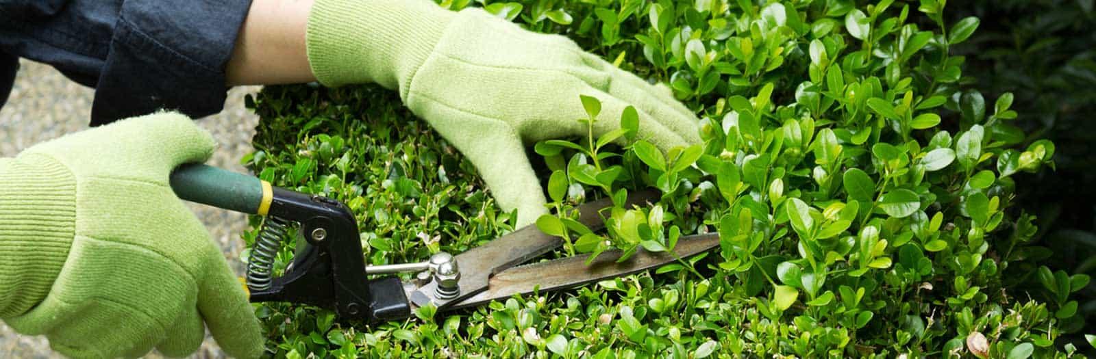 hands pruning healthy shrub