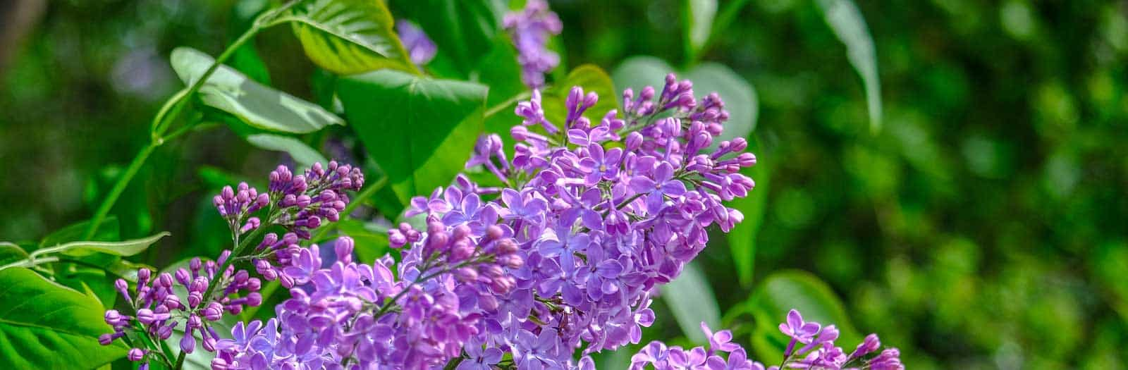 close up of a purple lilac shrub