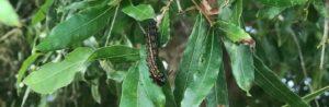 orange-striped oak worm on a leaf