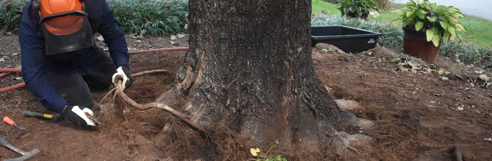 root collar excavation being performed by tree service arborist