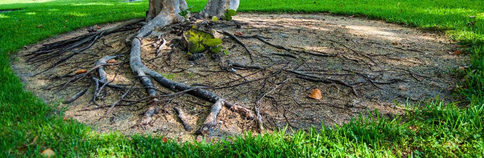 tree roots with root rot