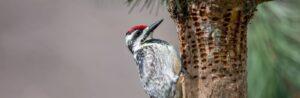 woodpecker making holes in a tree