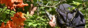 tree service arborist pruning a tree